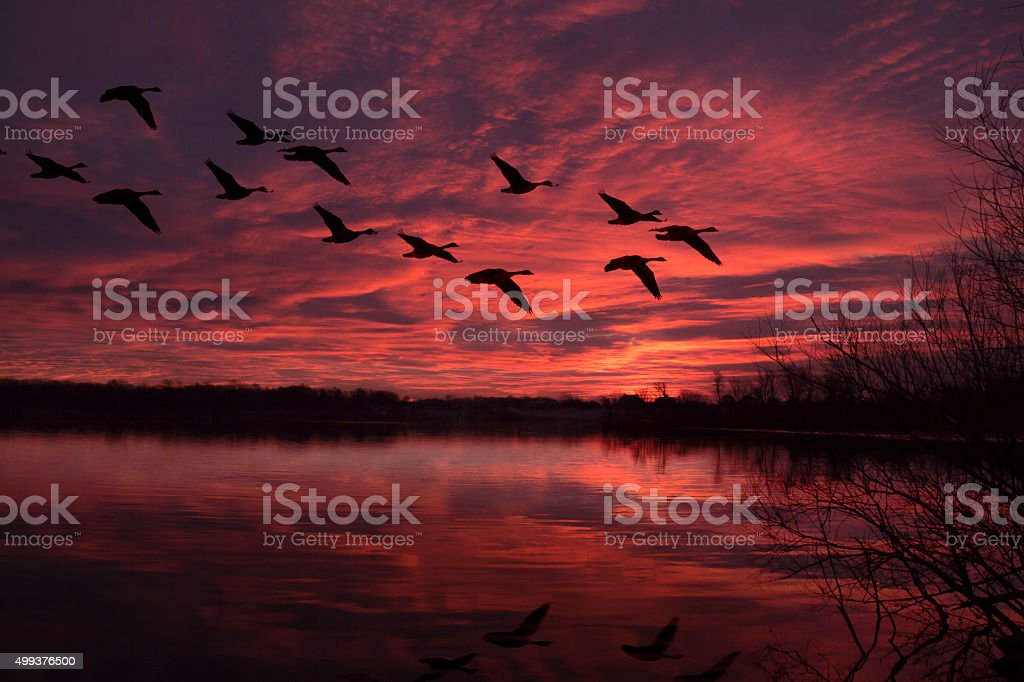 Flock of Geese Flying in Red, Predawn Sky stock photo