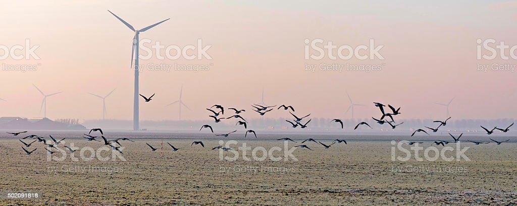 Flock of geese flying over a field in winter stock photo