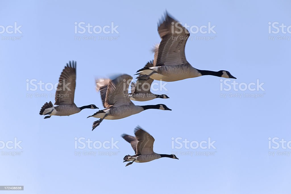 Flock of Geese in Flight royalty-free stock photo