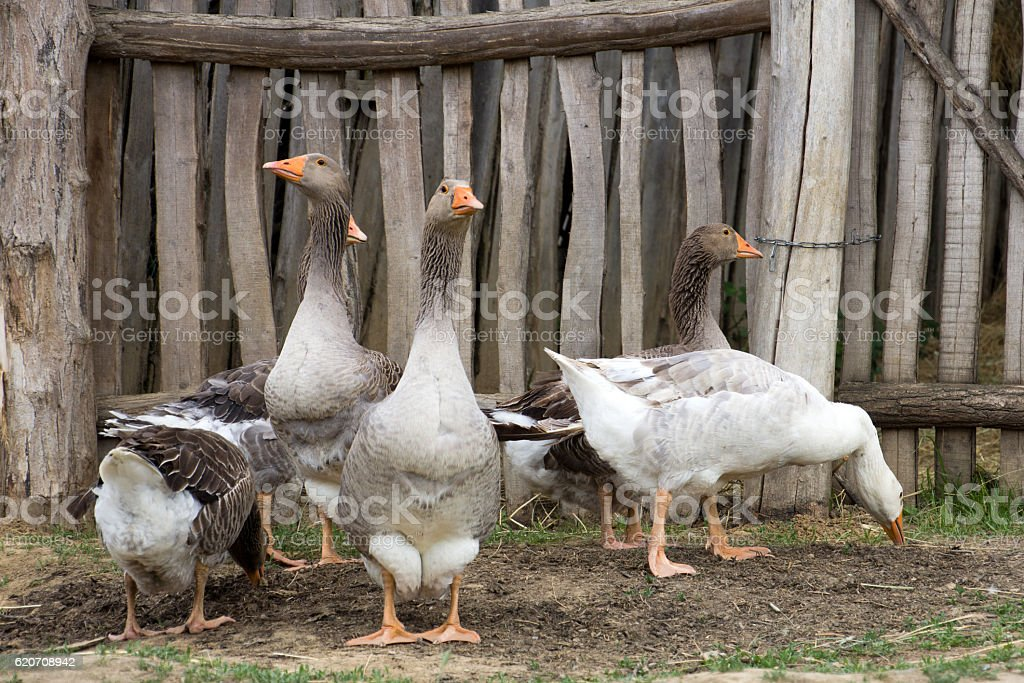 Flock of geese stock photo