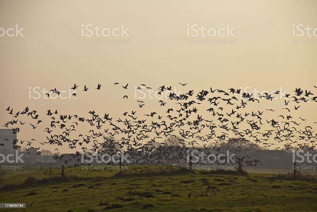 flock of geese starting royalty-free stock photo