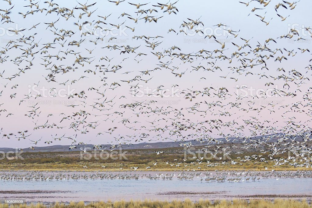 Flock of Geese Taking Off royalty-free stock photo