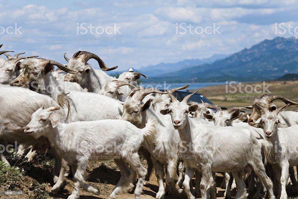 Flock of goat stock photo