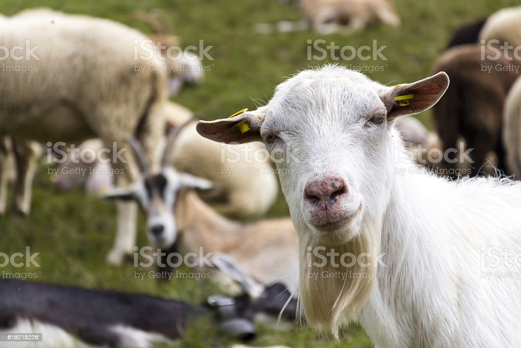 Flock of goats and sheep in Alps mountains, Livigno, Italy stock photo