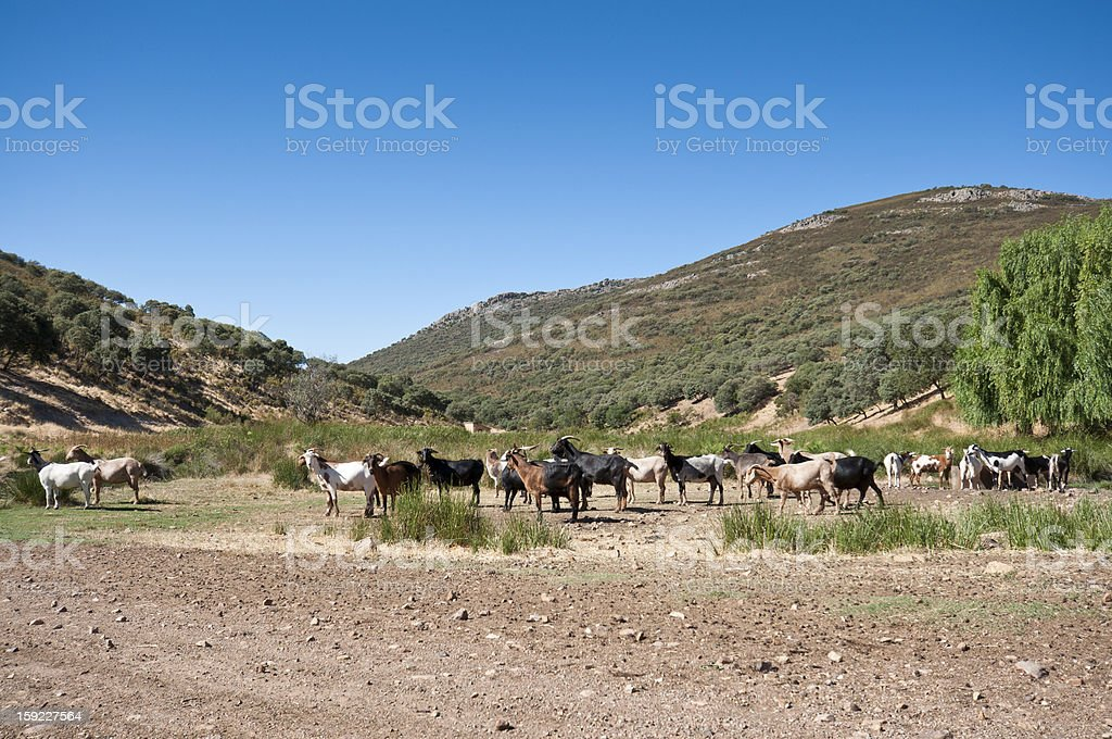 Flock of goats royalty-free stock photo