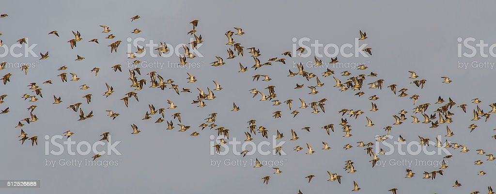flock of golden plovers stock photo