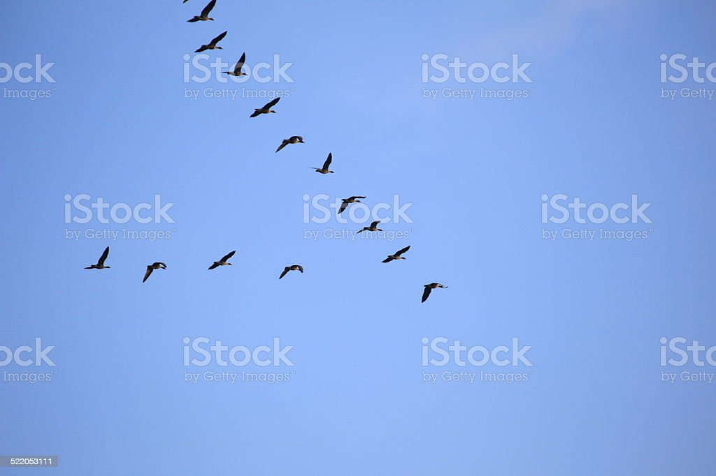 Flock Of Gray Geese stock photo