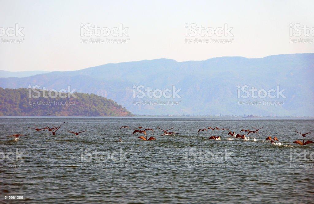 Flock of Great cormorant on the Lake Köyceğiz. stock photo