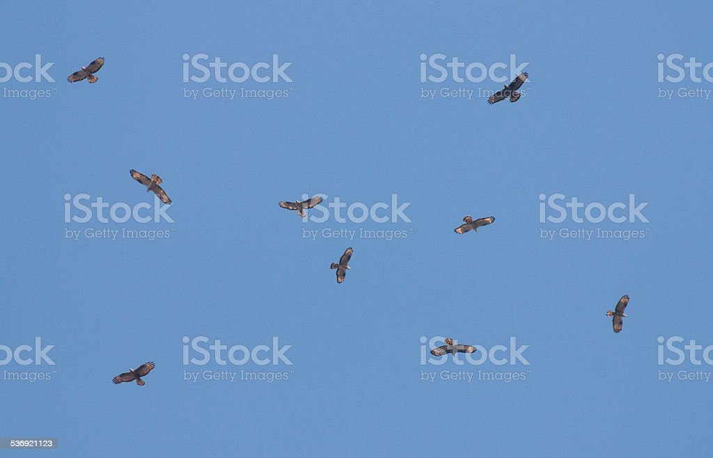 Flock of Honey-nuzzard stock photo