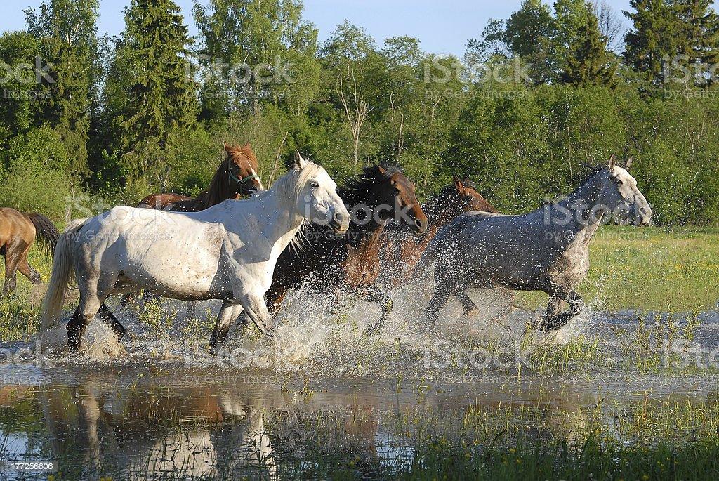Flock of horses in splashes royalty-free stock photo