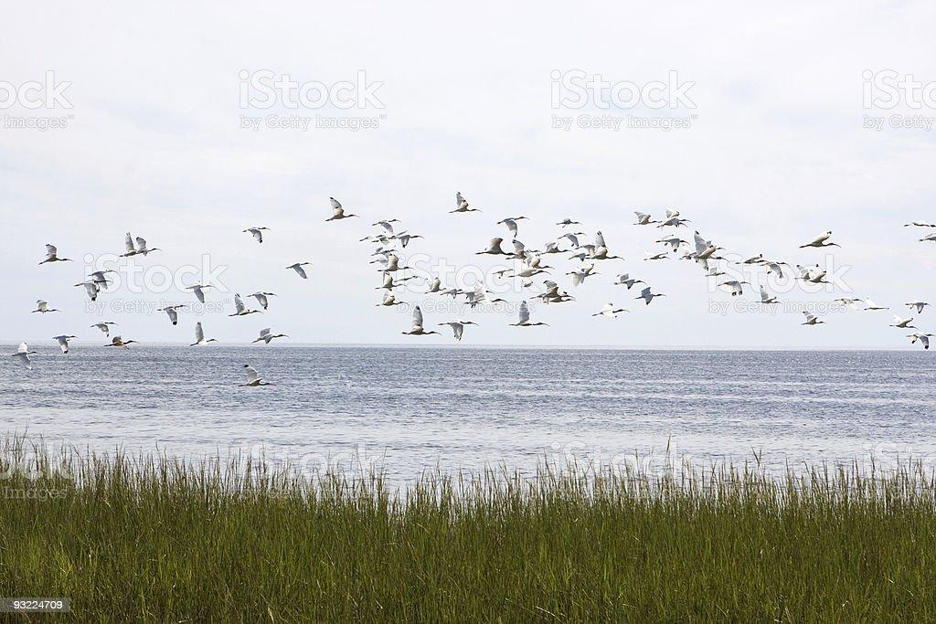 Flock Of Ibis stock photo