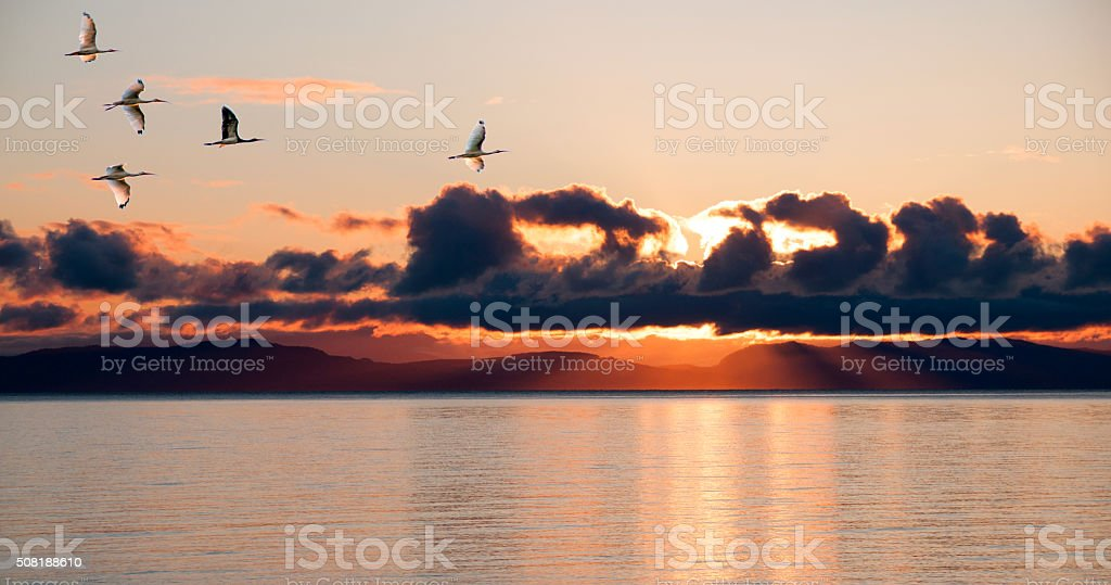 Flock of Ibis returning to evening roost with sunset background stock photo