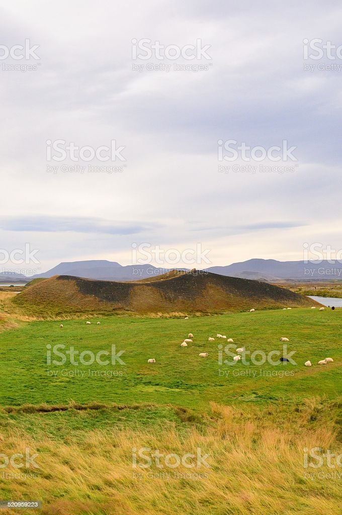 Flock of Icelandic Sheep and Psuedo Craters at Myvatn stock photo
