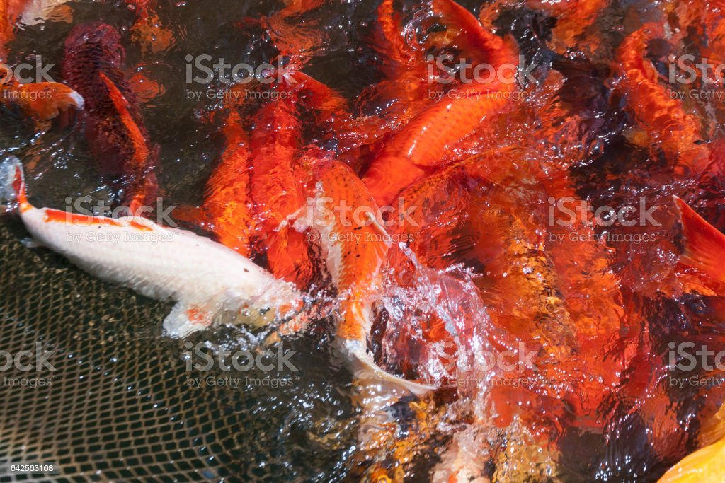 A flock of Japanese carp in a fishing net. stock photo