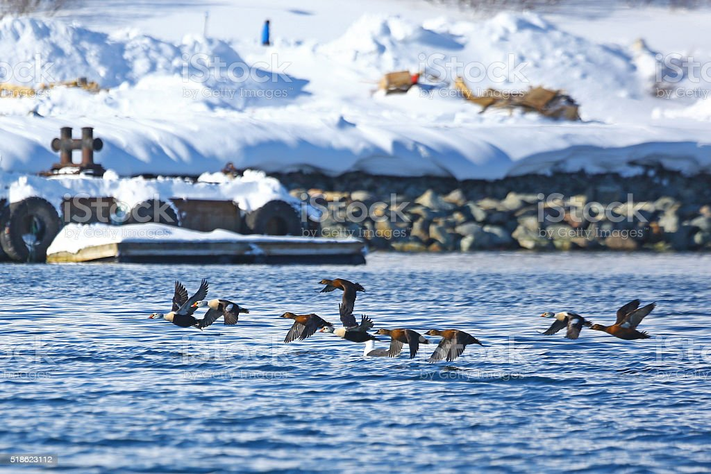 Flock of King eiders flying over the sea stock photo