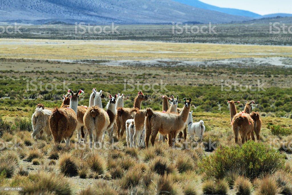 Flock of lamas in volcano isluga national park stock photo