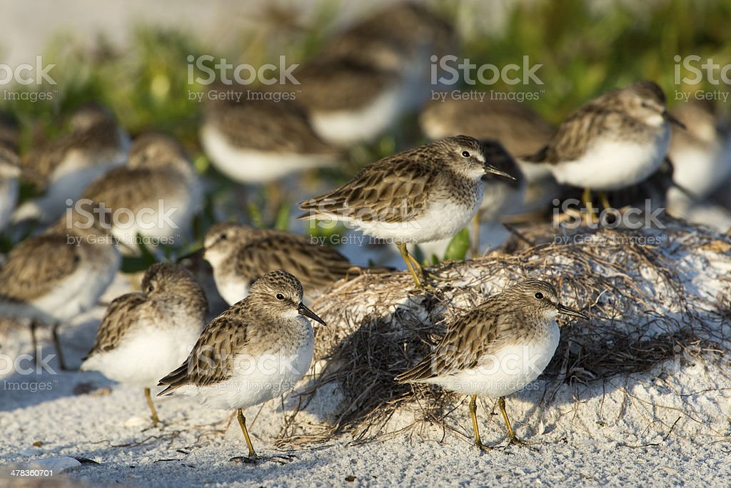 Flock of least Sandpipers stock photo