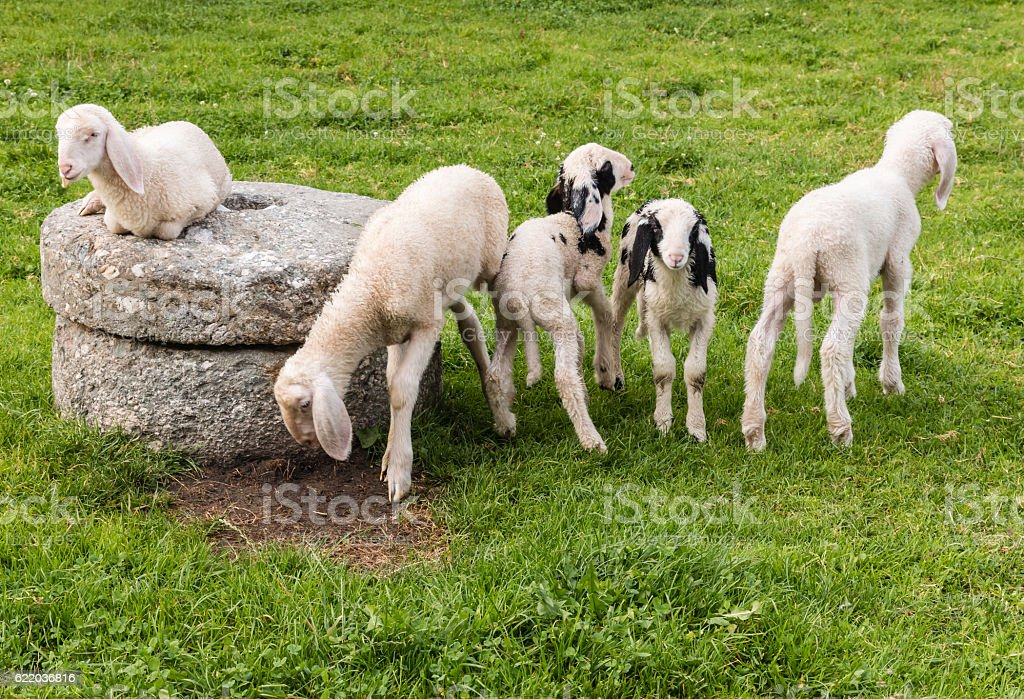flock of lop eared alpine lambs stock photo