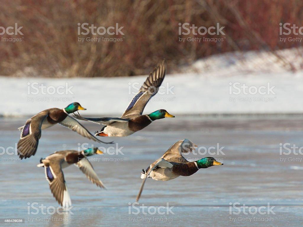 Flock of Mallards stock photo