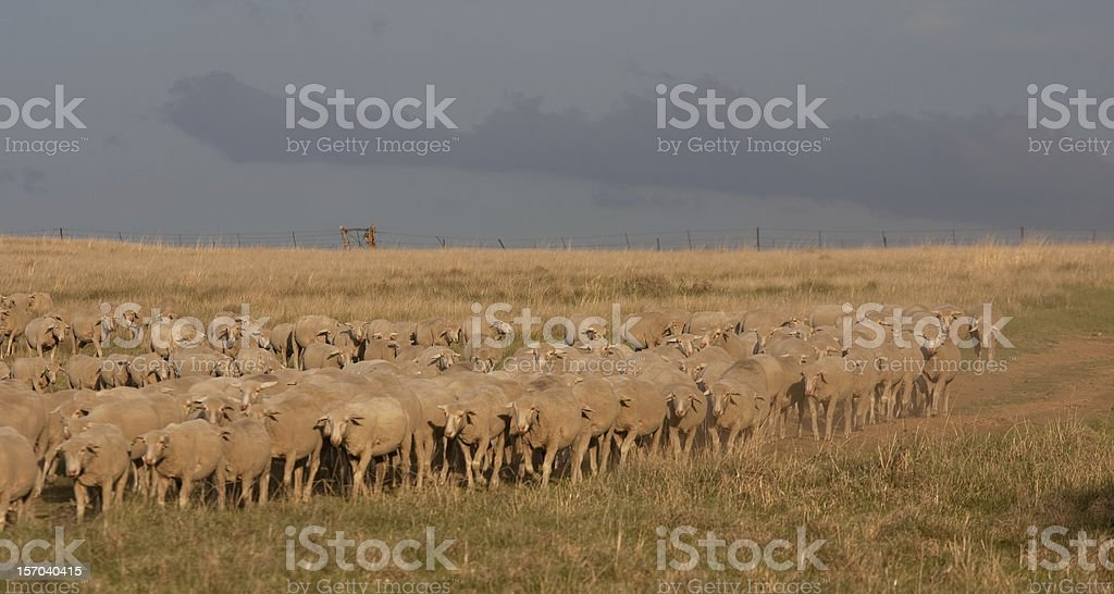 Flock of Merino sheep on a South African farm stock photo