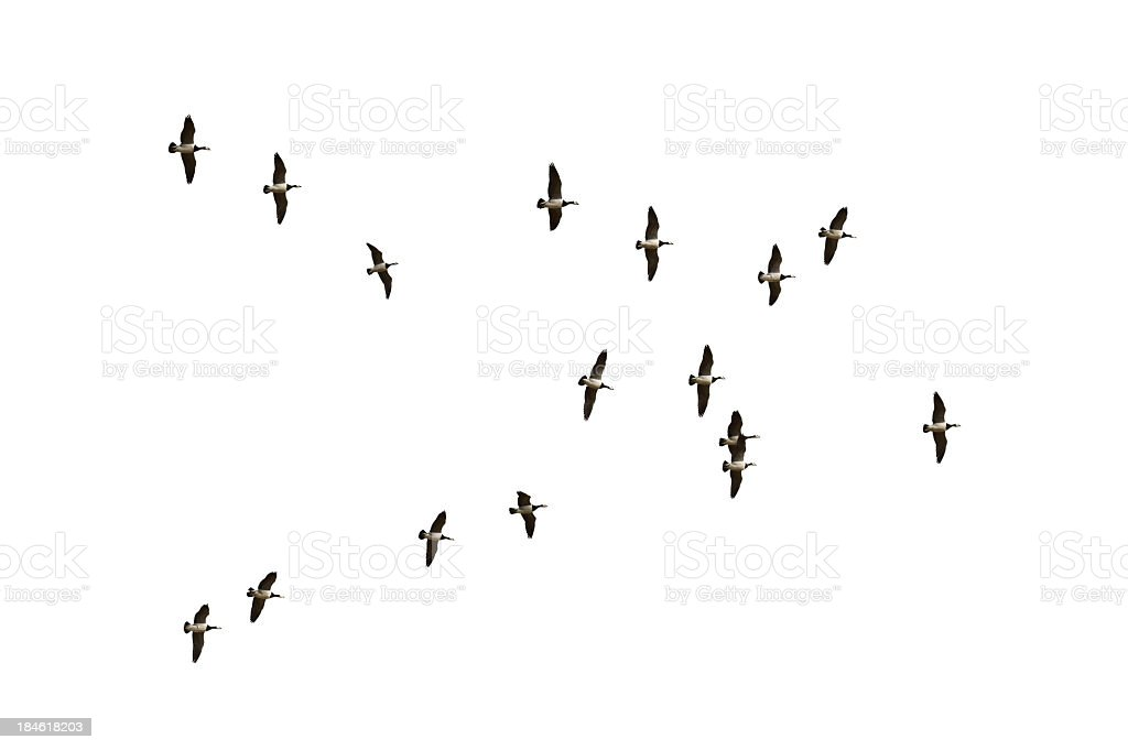 Flock of migrating geese over a white background royalty-free stock photo