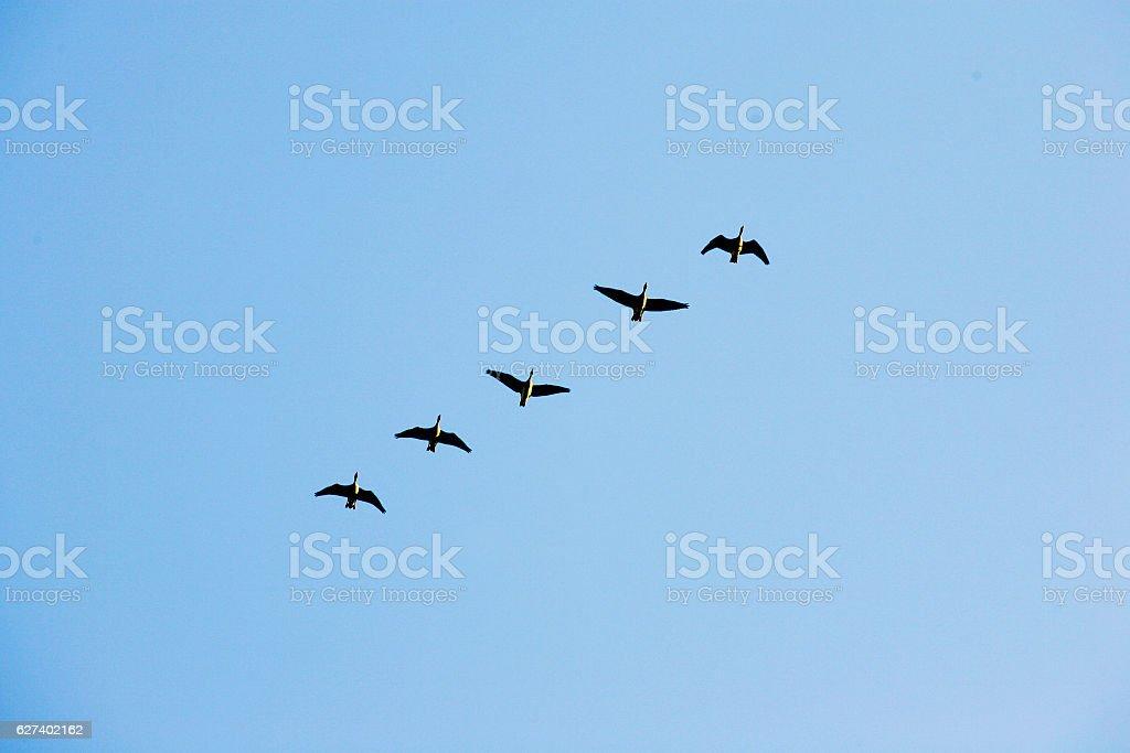 flock of migratory birds flying in the sky stock photo