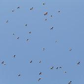 flock of migratory birds in the blue sky