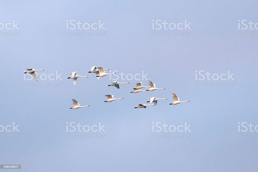 Flock Of Mute Swans stock photo