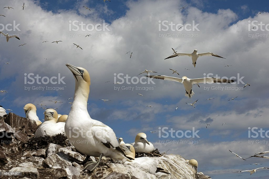 A flock of Northern Gannet seabirds on a mostly cloudy day stock photo