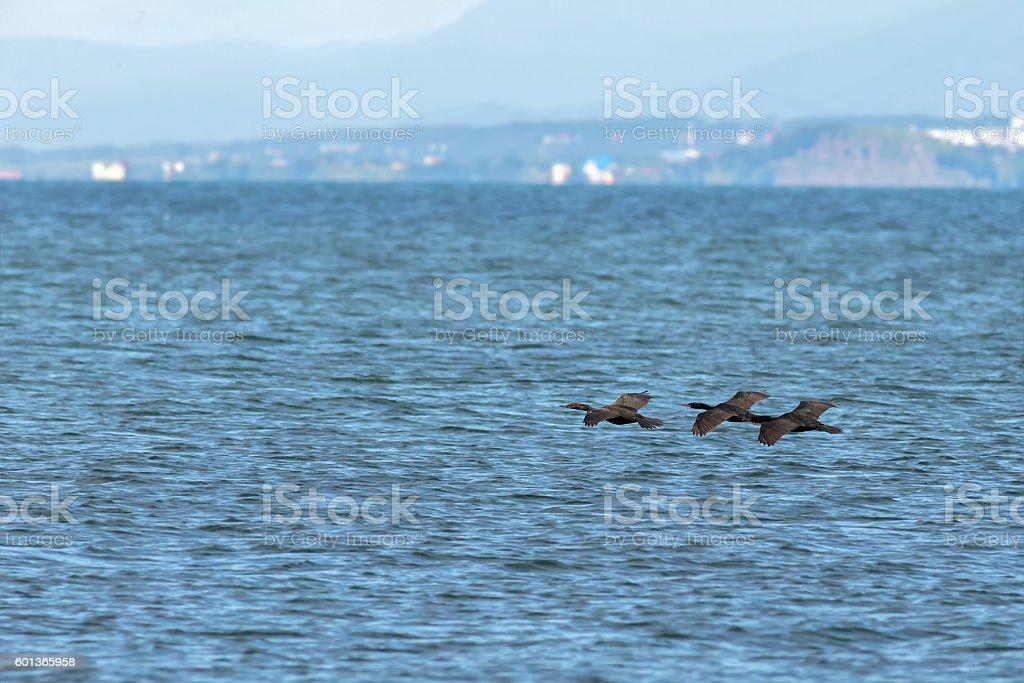 Flock of pelagic cormorant flying over Pacific Ocean. stock photo
