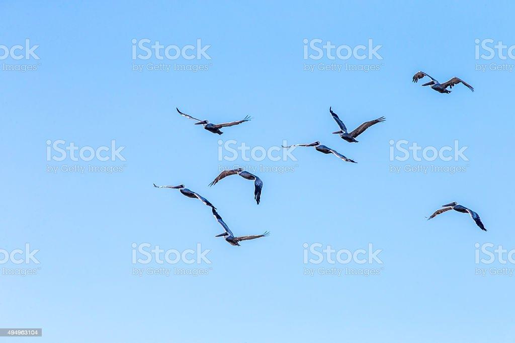 Flock of Pelicans flying, San Francisco, California, USA stock photo
