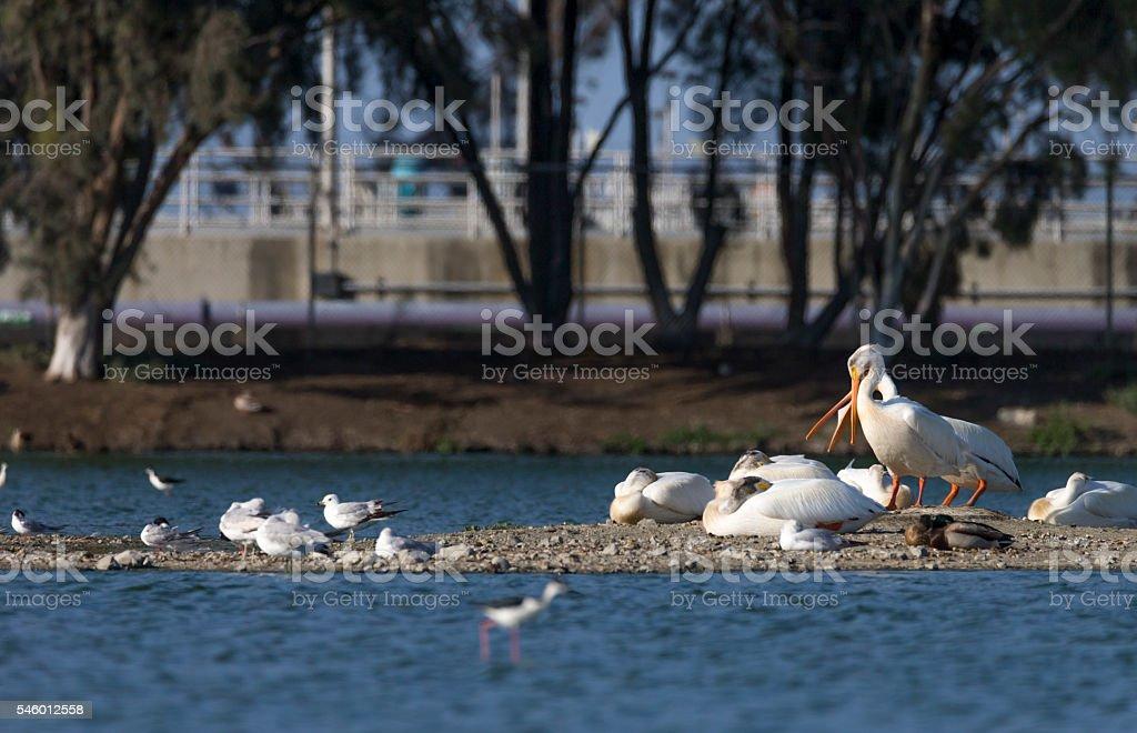 Flock of Pelicans in the lake, San Francisco, California stock photo