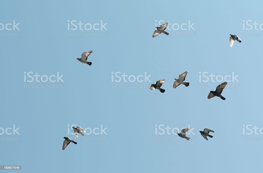 Flock of pigeons flying royalty-free stock photo