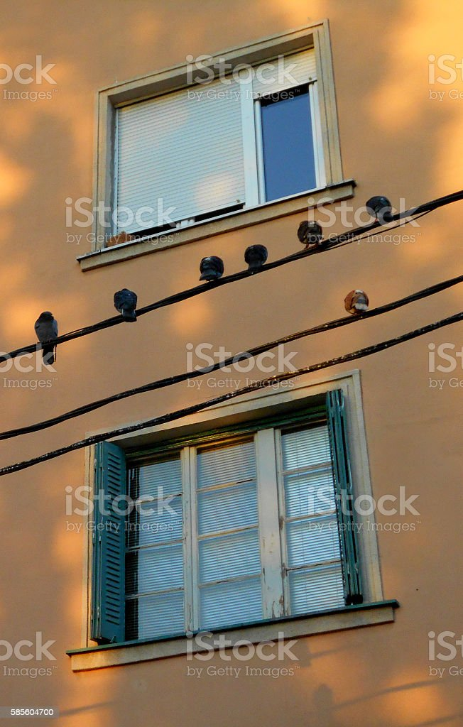 flock of pigeons on the electrical cable stock photo