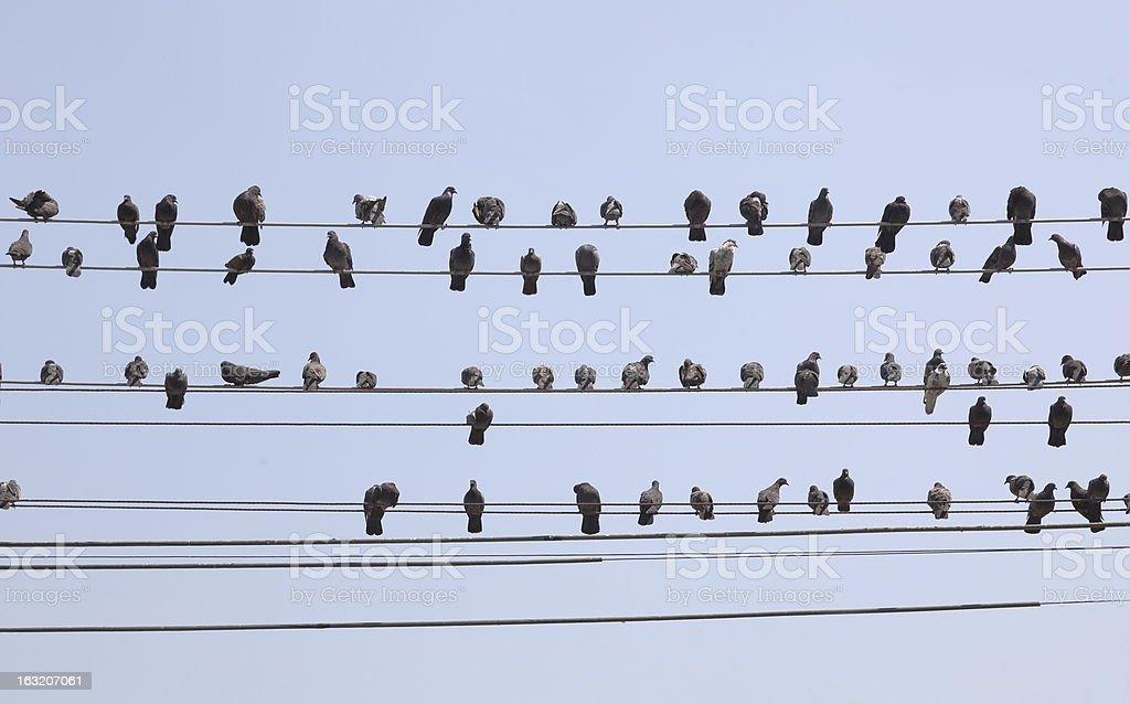 Flock of pigeons sit on wires. Yangon. Myanmar. stock photo
