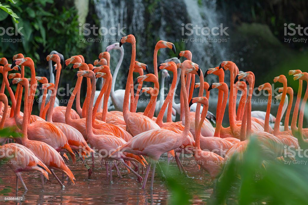 Flock of Pink flamingos standing in water stock photo