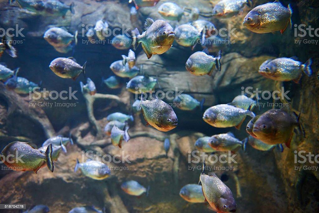 Flock of piranhas among rocks in river stock photo
