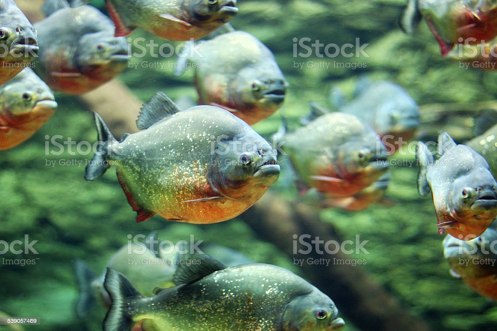 flock of piranhas swim nature wildlife stock photo