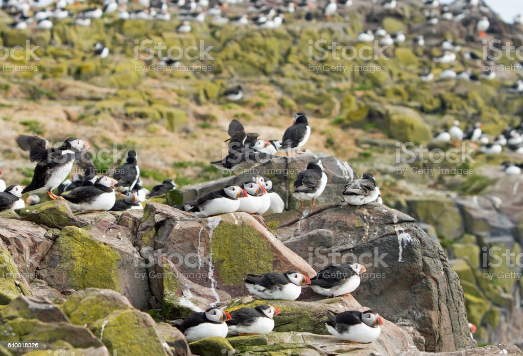 Flock of Puffins perched on the rugged cliffs on Farne Islands stock photo