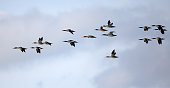 Flock of red-breasted mergansers flying against a cloudy sky