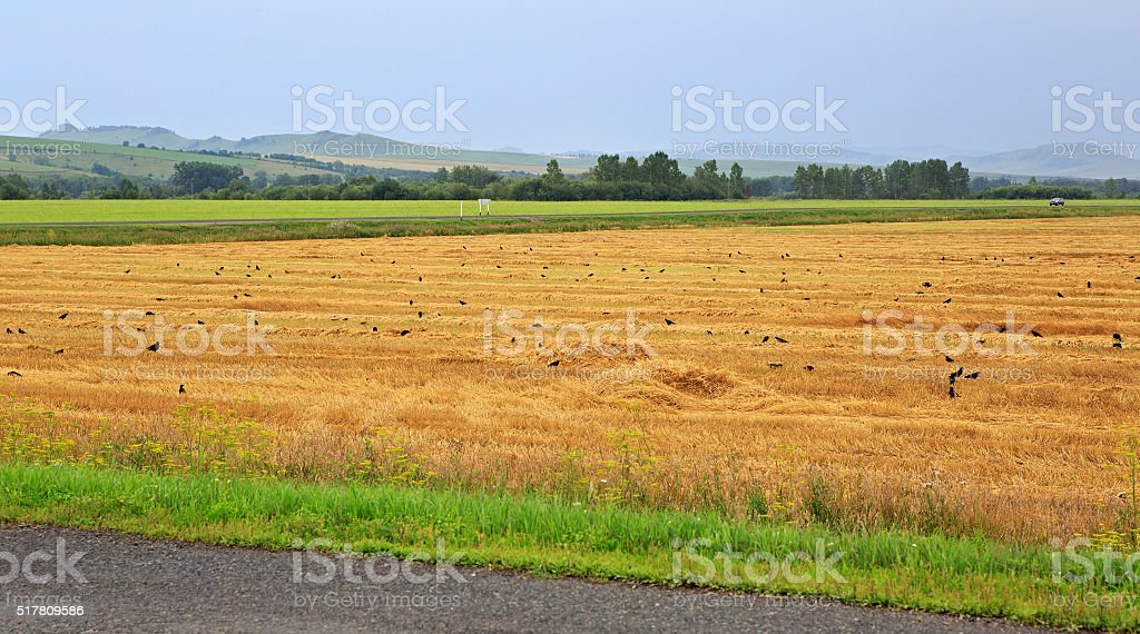 Flock of rooks on sloping field in Altai region stock photo