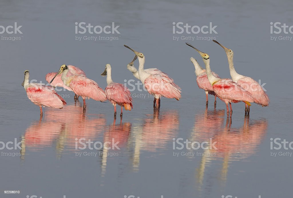 Flock of Roseate Spoonbills with reflection stock photo