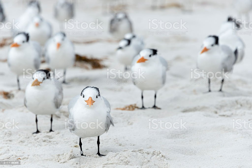 Flock of Royal Terns  (Thalasseus maximus) stock photo