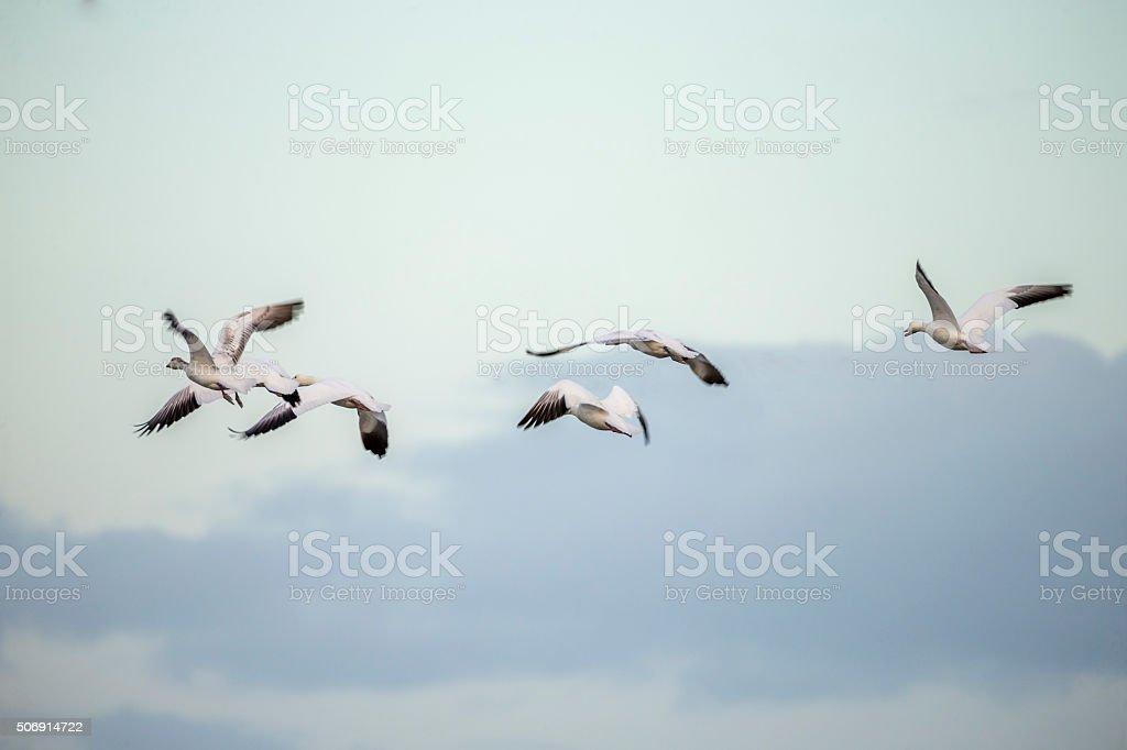 Flock of Sandhill Cranes, California, USA stock photo