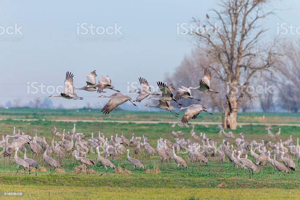 Flock of Sandhill Cranes, California, USA stock photo
