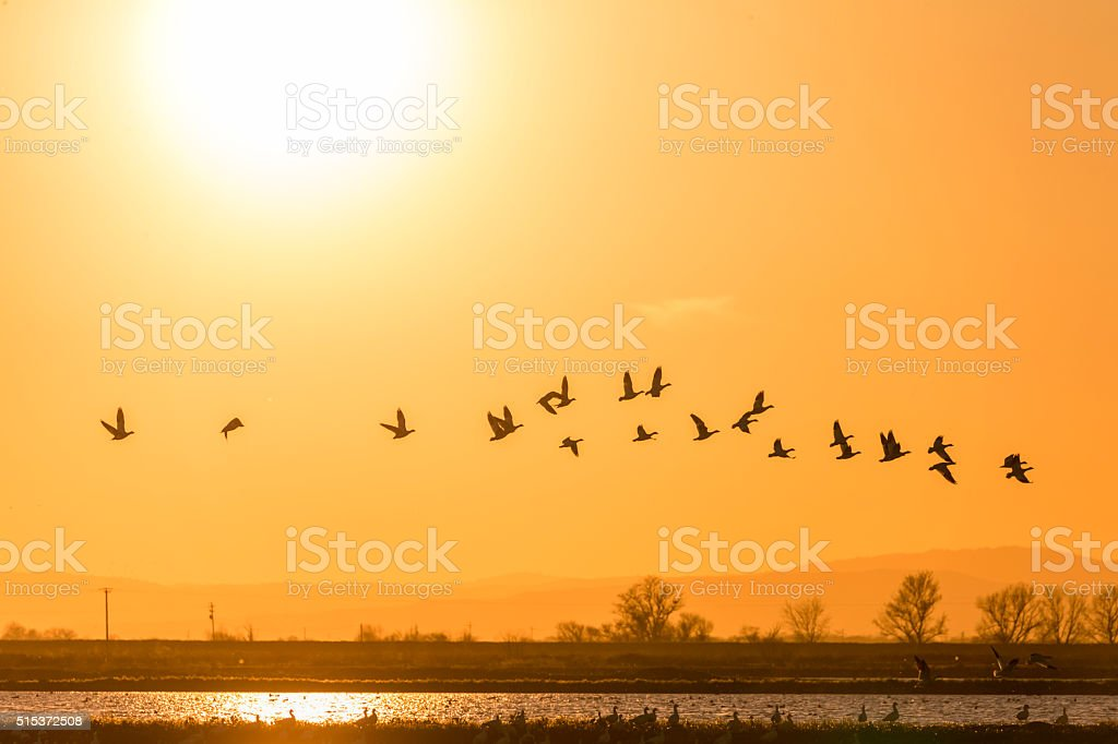 Flock of Sandhill Cranes Flying at Sunset, California, USA stock photo