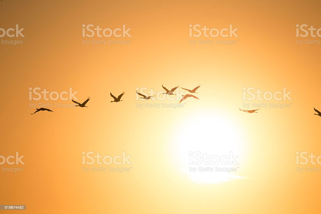 Flock of Sandhill Cranes flying at sunset. 600mm lens. Canon 1Dx.