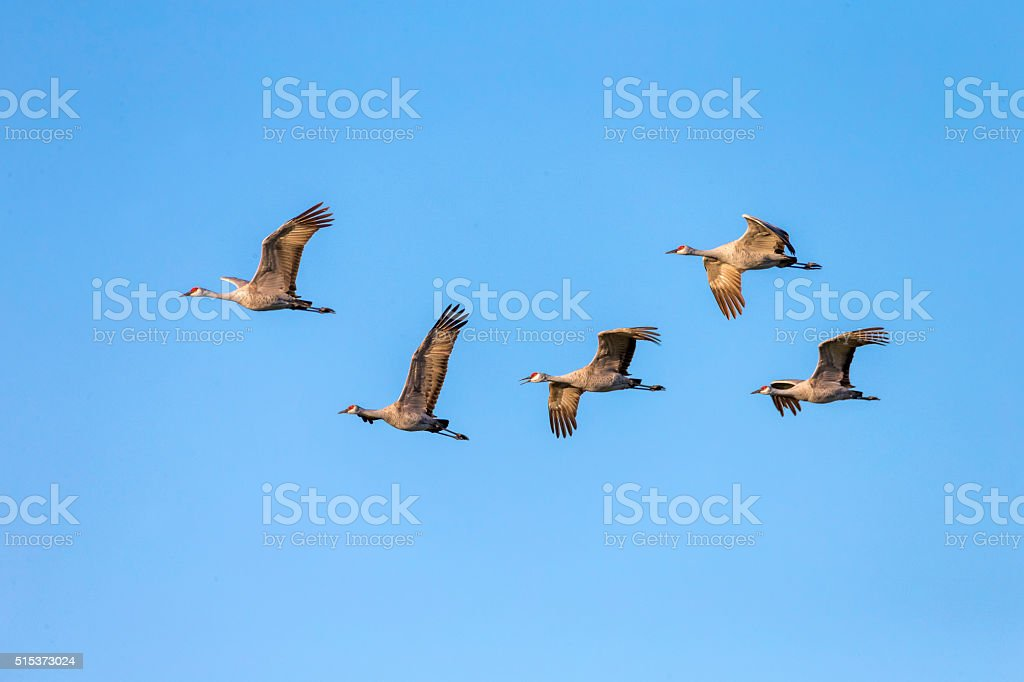 Flock of Sandhill Cranes flying in winter time. White goose on the...