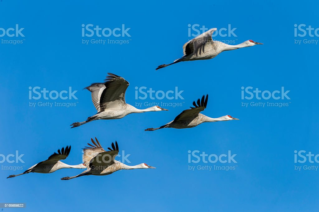 Flock of Sandhill Cranes flying, . 600mm lens. Canon 1Dx.
