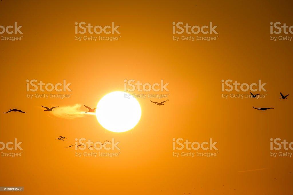 Flock of Sandhill Cranes Flying on sunset, California, USA stock photo